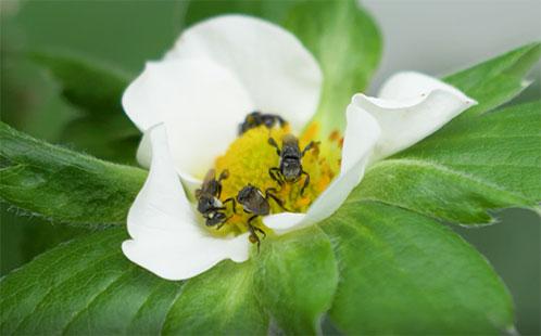 https://www.futurefoodsystems.com.au/wp-content/uploads/2020/01/strawberry-native-bees.jpg