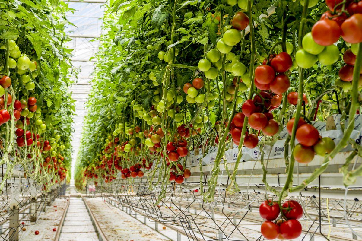 https://www.futurefoodsystems.com.au/wp-content/uploads/2020/08/Costa-Tomatoes-12-1200x799.jpg