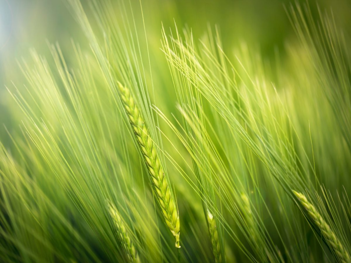 https://www.futurefoodsystems.com.au/wp-content/uploads/2020/08/Wheat-one-of-the-worlds-most-important-staple-grains-new-research-shows-it-could-be-productively-grown-in-vertical-farms_Credit-Luca-Huter-on-Unsplash_CROP-1200x900.jpg