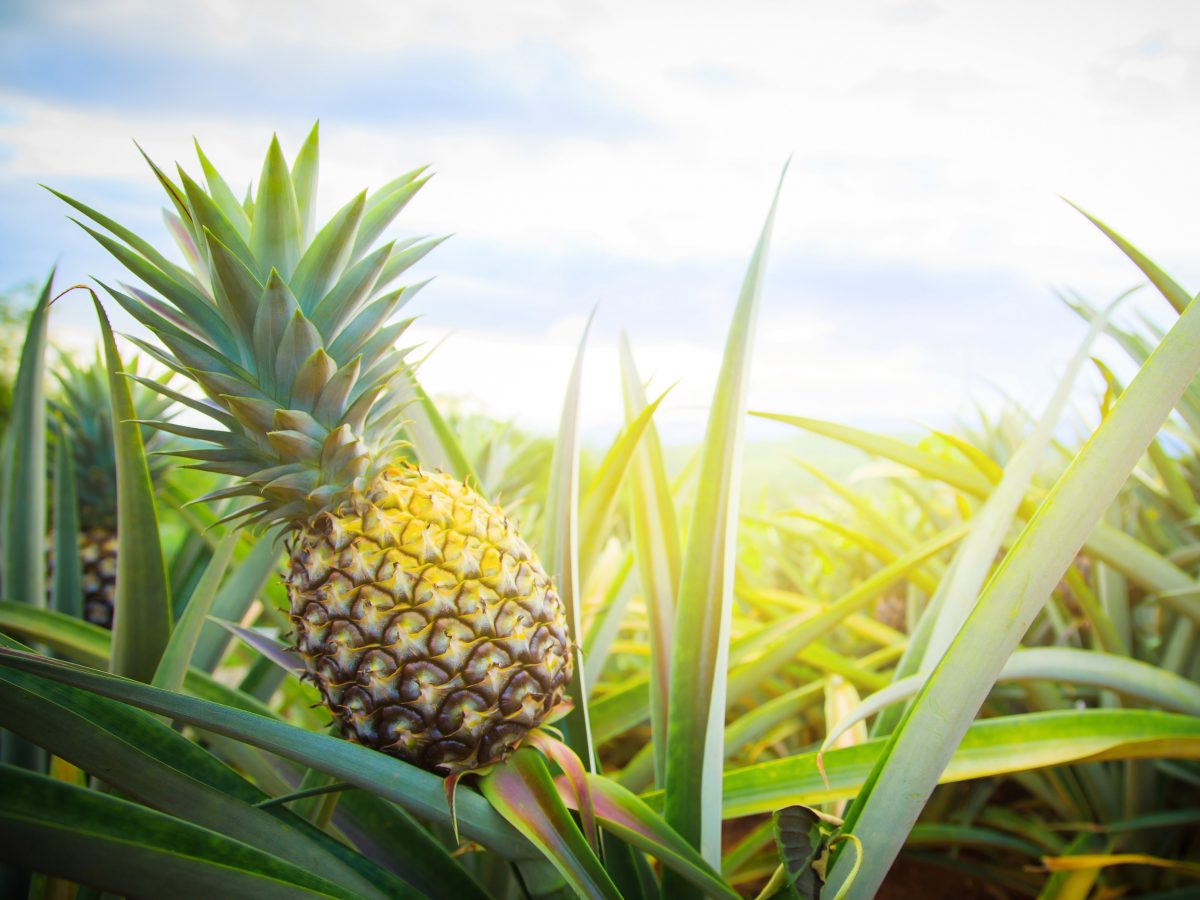 https://www.futurefoodsystems.com.au/wp-content/uploads/2021/02/Pineapples-in-the-paddock.-Credit-Noppadon-Stocker-Shutterstock_CROP-1200x900.jpg