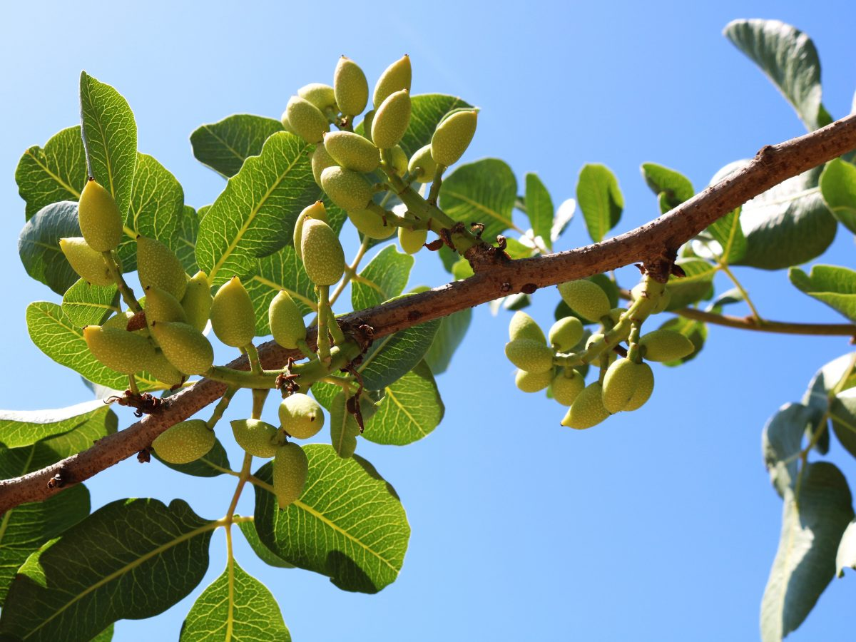 https://www.futurefoodsystems.com.au/wp-content/uploads/2021/04/Pistachios-ripening-on-the-tree.-Credit-Shutterstock_1420811897_CROP-1200x900.jpg