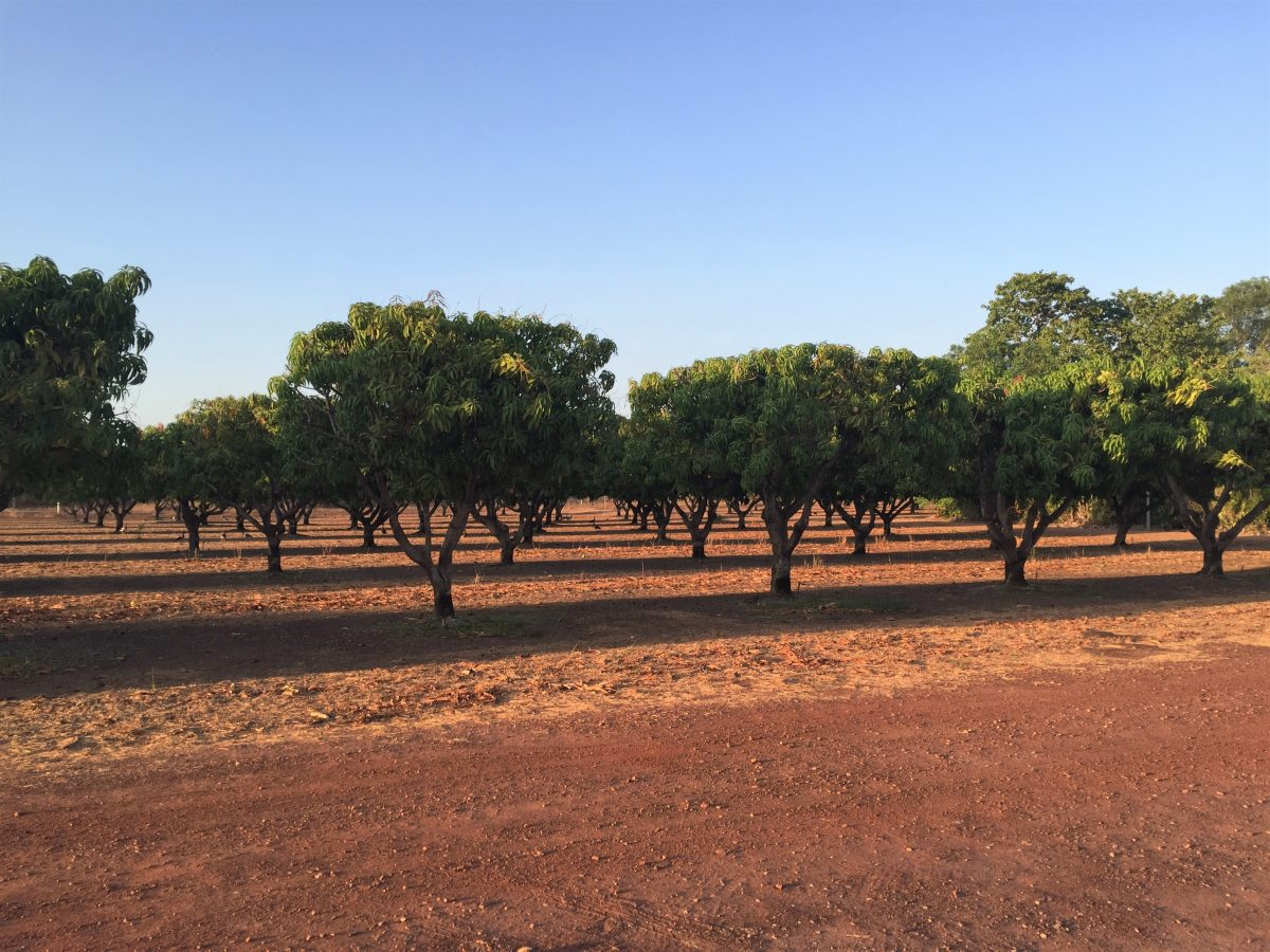 https://www.futurefoodsystems.com.au/wp-content/uploads/2021/05/Mango-Trees-in-Darwin-River-Northern-Terrritory-Australia.-Credit-DMW-Photography-Shutterstock_1819858151-1200x900.jpg