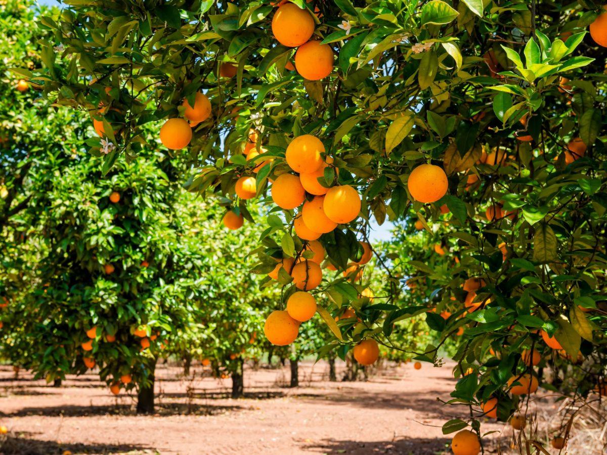 https://www.futurefoodsystems.com.au/wp-content/uploads/2021/07/Citrus-orchard.-Credit-Shutterstock_294932609_CROP-scaled-1200x900.jpg