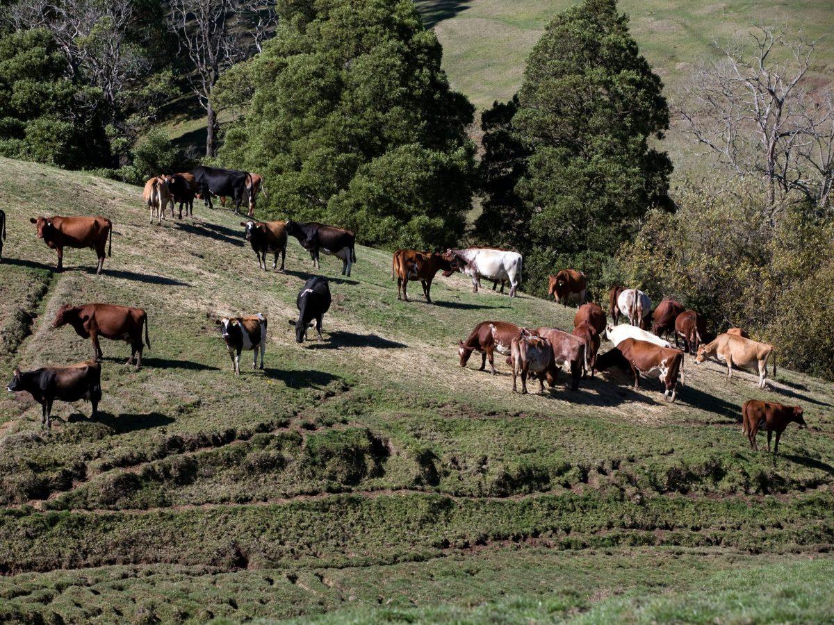 https://www.futurefoodsystems.com.au/wp-content/uploads/2021/08/A-herd-of-Holstein-dairy-cows-grazing-on-a-sunny-hillside-in-Ferndale-a-rural-area-near-Warragul-in-Gippsland-Victoria-Australia.-Credit-David-L-Young-Shutterstock_1948212511_CROP-scaled-1200x900.jpg