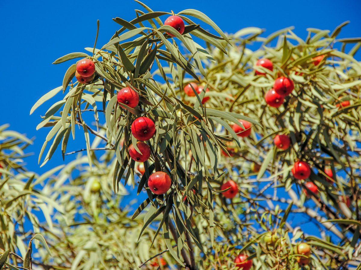 https://www.futurefoodsystems.com.au/wp-content/uploads/2021/08/Desert-quandong-or-Santalum-acuminatum-fruiting-tree-in-Curtin-Springs-Northern-Territory.-Credit-Shutterstock_353386451_CROP-scaled-1200x900.jpg