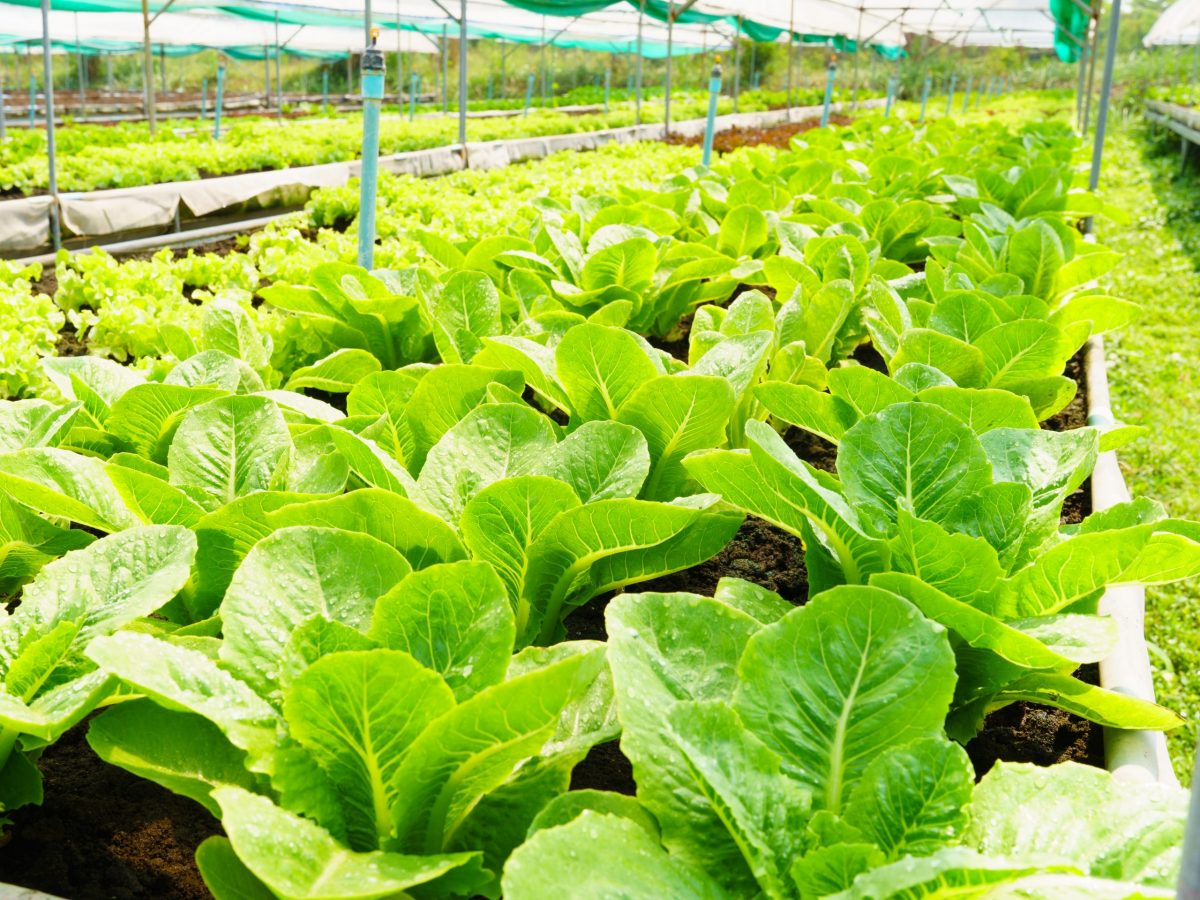 https://www.futurefoodsystems.com.au/wp-content/uploads/2021/08/Sustainable-horticulture-lettuces-grown-in-a-water-and-energy-efficient-greenhouse-set-up.-Credit-Shutterstock_1926596915_CROP-scaled-1200x900.jpg