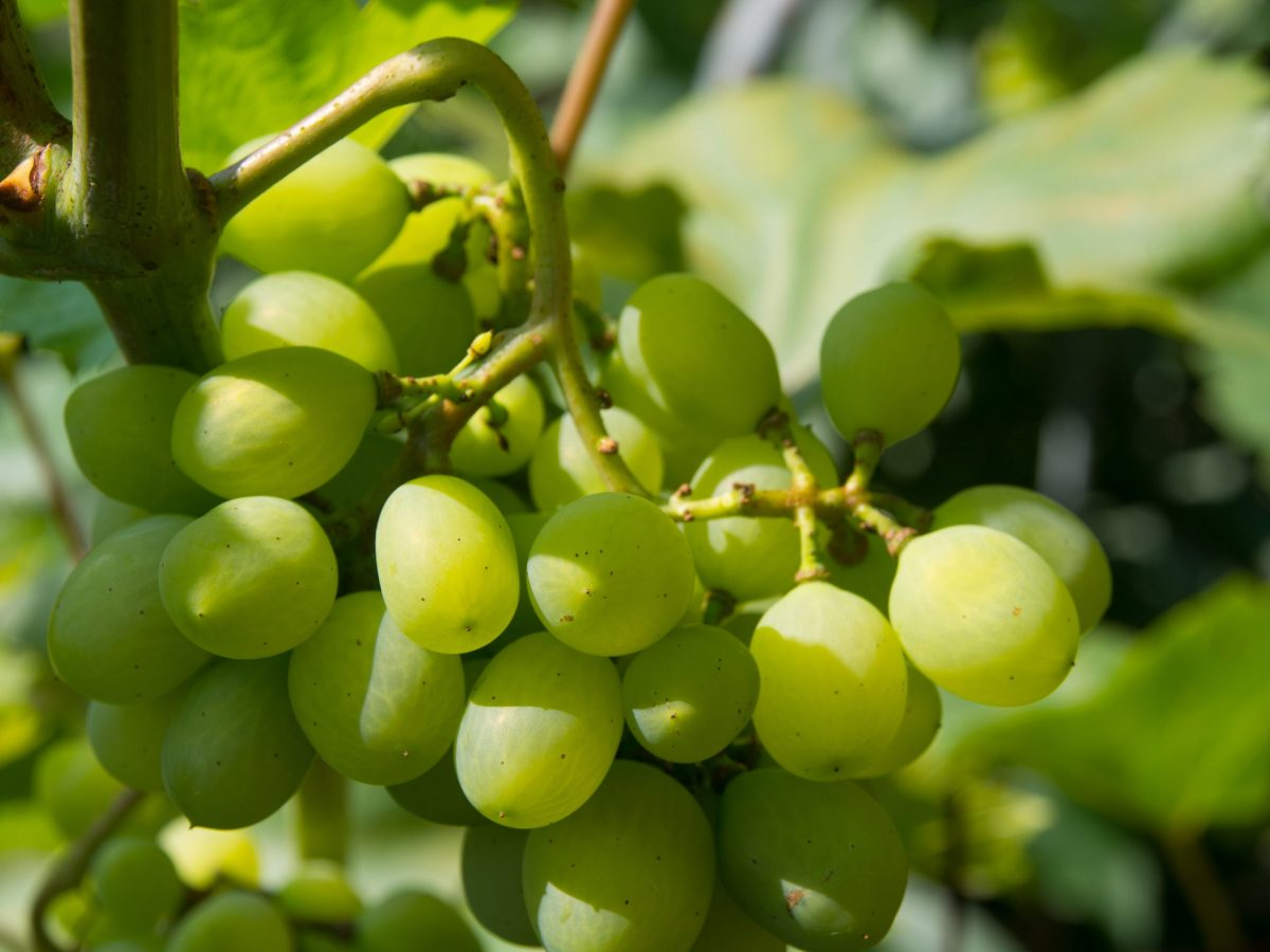 https://www.futurefoodsystems.com.au/wp-content/uploads/2021/08/White-table-grapes-on-the-vine.-Credit-Shutterstock_1779899507_CROP-scaled-1200x900.jpg