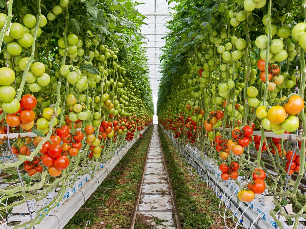 https://www.futurefoodsystems.com.au/wp-content/uploads/2021/09/Inside-PPetuals-commercial-scale-greenhouse-growing-truss-tomatoes.-Credit-PPetual-Holdings_CROP_Ppetual-002-scaled-1200x900.jpg