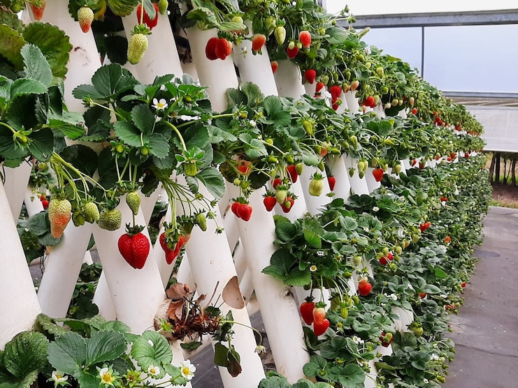 https://www.futurefoodsystems.com.au/wp-content/uploads/2021/09/Peak-harvest-time-is-in-August-and-September.-Credit-Ricardoes-Tomatoes-and-Strawberries_CROP.png